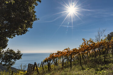 Italy, Liguria, Cinque Terre, vineyard at the coast in backlight - CSTF01385