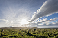 UK, Scotland, Caithness, Coast of Duncansby Head, sheep on pasture - FOF09282