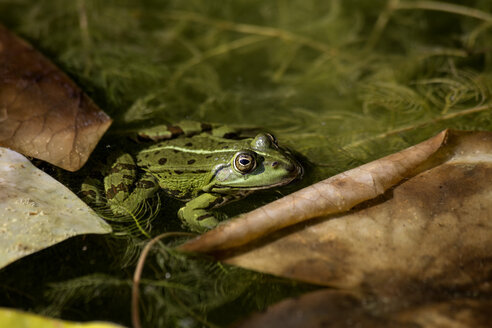 Pool frog in water - NDF00664