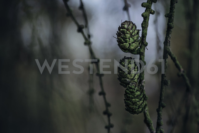 Three green pine cones at twig - MJF02157