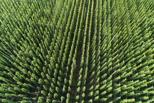 Germany, Bavaria, hop field, aerial view - MAEF12409