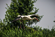 Flying white stork - SIPF01647