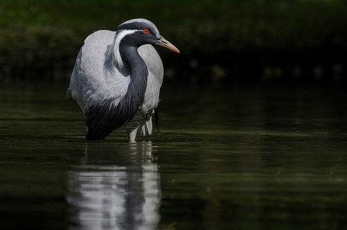 Demoiselle crane standing in water - SIPF01650
