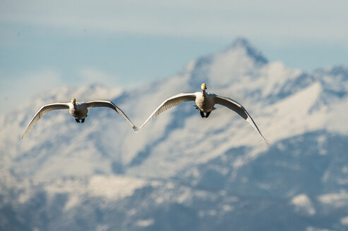 Italy, two whooper swans flying side by side - SIPF01653