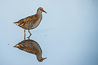 Water rail with water reflection - SIPF01656