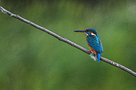 Common kingfisher on a twig - SIPF01659