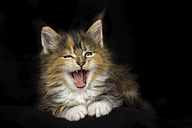 Yawning Maine Coon kitten - MJOF01397
