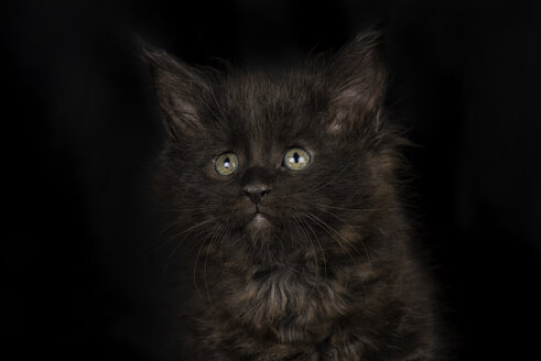 Black Maine Coon kitten in front of black background - MJOF01400