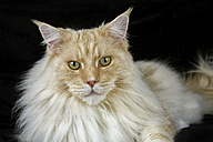 Portrait of Maine Coon lying in front of black background - MJOF01404