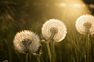 Dandelions on meadow in sunlight - SIPF01676