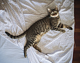Tabby cat lying on the bed, top view - RAEF01935