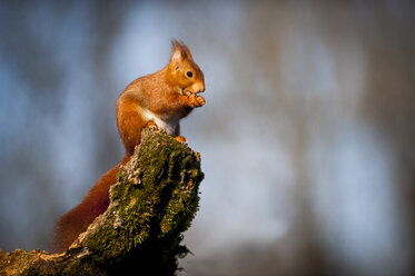 Portrait of eating Eurasian red squirrel - SIPF01678