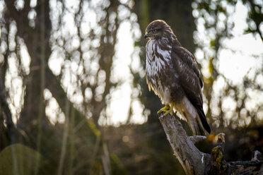 Portrait of Common buzzard - SIPF01684