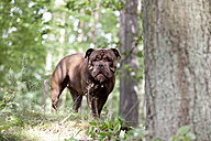 Olde English Bulldogge standing in forest - MFRF01001