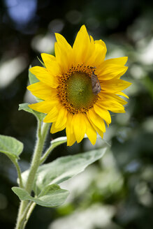Sunflower - NDF00667