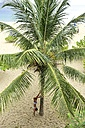 Young woman doing a handstand at palm tree on the beach - ECPF00096