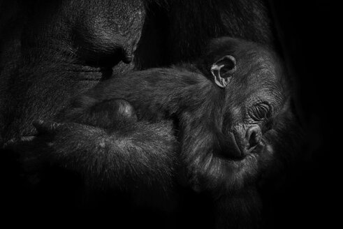 Gorilla baby held by it's mother - MJOF01409