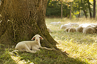 Germany, Munich, Flock of sheep in the English Garden - FCF01275