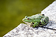 Common water frog on a wall - NDF00677