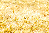 Field of barley - SMAF00829