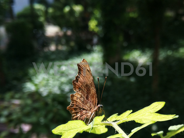 Butterfly on a tomato plant, garden, Berlin, Germany - NGF00406