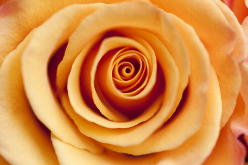 Orange rose, close-up - MMAF00131