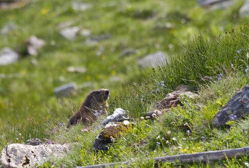 Austria, Hohe Tauern, alpine marmot at  Grossglockner - ZCF00551