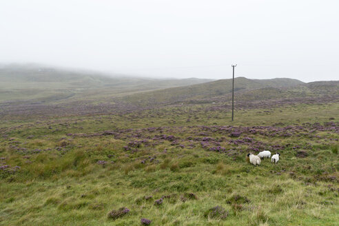 UK, Scotland, Isle of Skye, sheep on pasture - CLPF00144