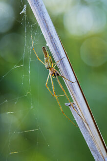 Silver Stretch Spider and spider's web with prey at blade of grass - SIEF07507