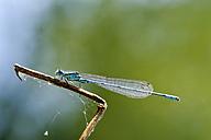 Azure damselfly on twig - SIEF07510