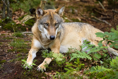 Germany, Bavaria, Bavarian Forest National Park, lying wolf - SIEF07512