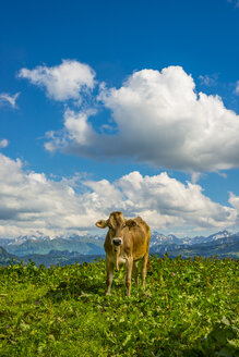 Germany, Allgaeu, dehorned young brown cattle standing on an Alpine meadow - WGF01114