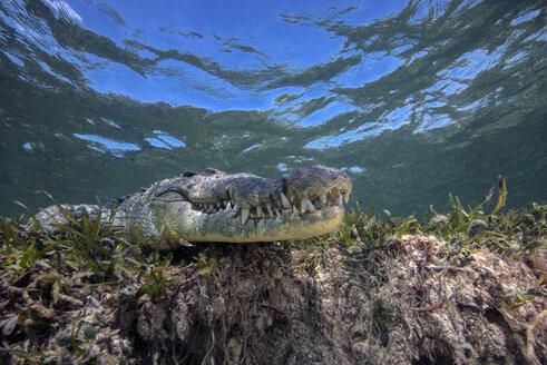 Mexico, American crocodile under water - GNF01397