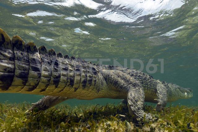 Mexico, American crocodile under water - GNF01409