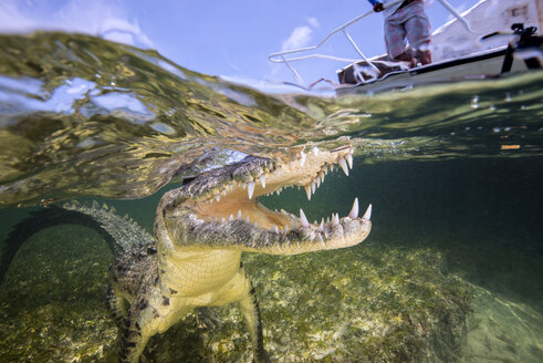 Mexico, American crocodile under water - GNF01412