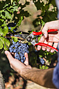 Close-up of man harvesting grapes in vineyard - MGIF00117