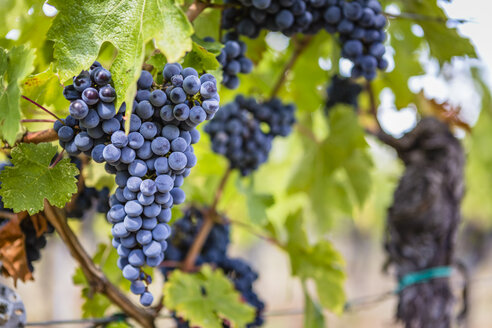 Ripe grapes on vine - MGIF00120