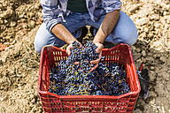 Man holding harvested grapes in a box - MGIF00123