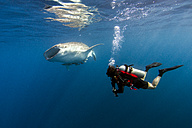 Indonesia, Papua, Cenderawasih Bay, diver watching Whale shark - TOVF00095