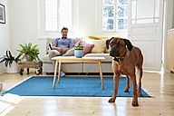 Rhodesian ridgeback standing in living room, man siting on couch in background - PDF01285