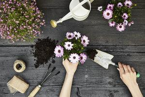 Woman's hands potting plant - PDF01406