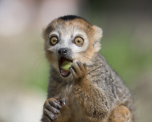 Portrait of eating crowned lemur with eyes wide open - MJOF01424