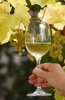 Hand holding glass of wine in front of vine - JTF00845