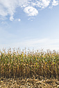 Cornfield at harvesttime - ASCF00760