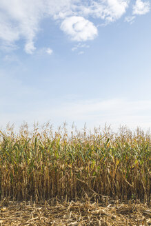 Cornfield at harvesttime - ASCF00760
