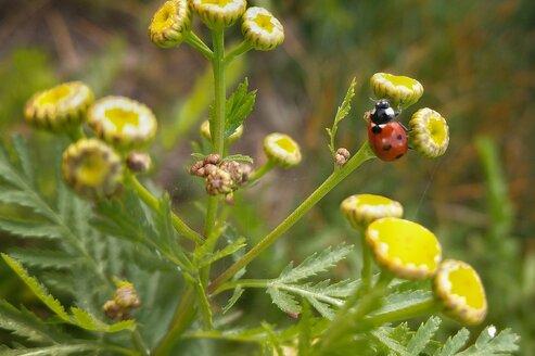 Ladybird on yellow flower - NGF00431