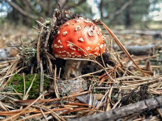 Fly agaric in forest - NGF00434