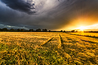UK, Scotland, Fife, field of barley at sunset - SMAF00839