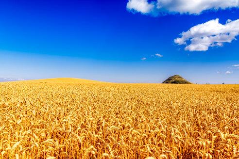 UK, Scotland, East Lothian, field of wheat - SMAF00842