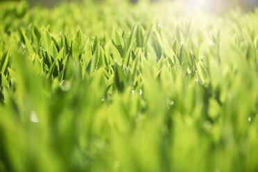 Green leaves at backlight - GUFF00276